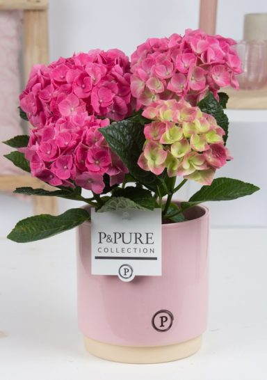 PC12-117-Hydrangea-p12-in-Julia-ceramics