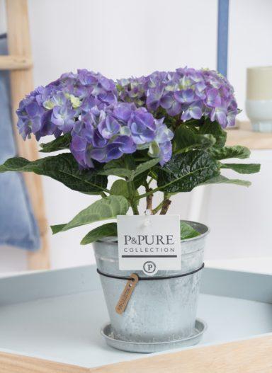 PC12-119-Hydrangea-p12-blue-in-zinc-pot-Louise