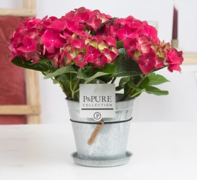 PC12-122-Hydrangea-p12-red-in-zinc-pot-Louise