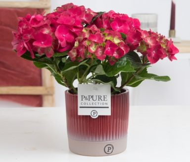 PC12-130-Hydrangea-p12-in-Lucille-ceramics