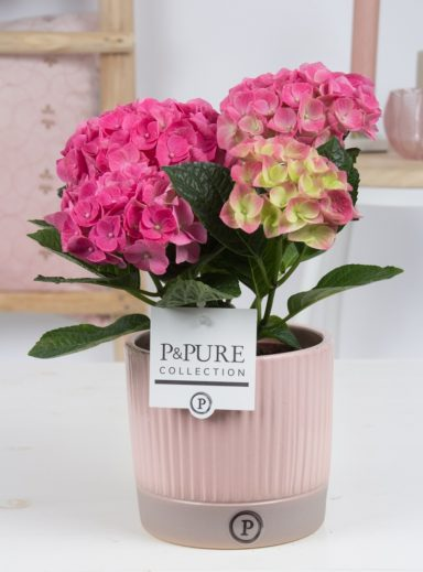 PC12-131-Hydrangea-p12-in-Lucille-ceramics