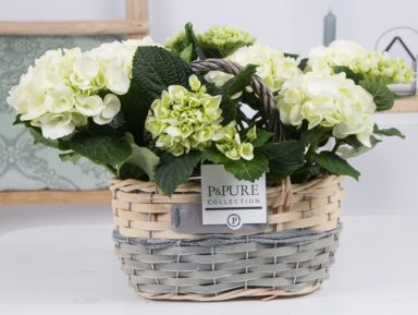 PC12-149-2x-Hydrangea-p12-white-in-Fieldbasket