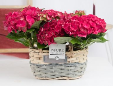PC12-151-2x-Hydrangea-p12-red-in-Fieldbasket