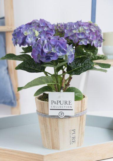 PC12-163-Hydrangea-p12-blue-in-Pure-Wood-pot