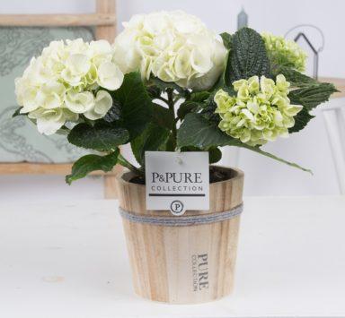PC12-164-Hydrangea-p12-white-in-Pure-Wood-pot