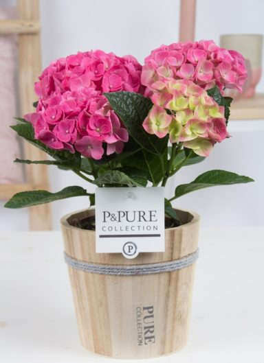 PC12-165-Hydrangea-p12-pink-in-Pure-Wood-pot