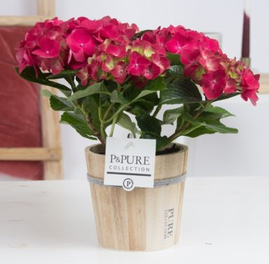 PC12-166-Hydrangea-p12-red-in-Pure-Wood-pot