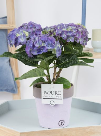 PC12-173-Hydrangea-p12-blue-in-Pure-Clay-ceramic-II
