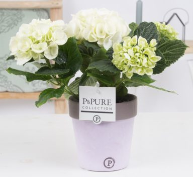 PC12-174-Hydrangea-p12-white-in-Pure-Clay-ceramic