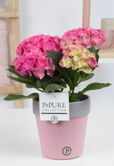 PC12-175-Hydrangea-p12-pink-in-Pure-Clay-ceramic-II