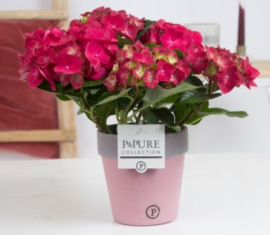 PC12-176-Hydrangea-p12-red-in-Pure-Clay-ceramic-II