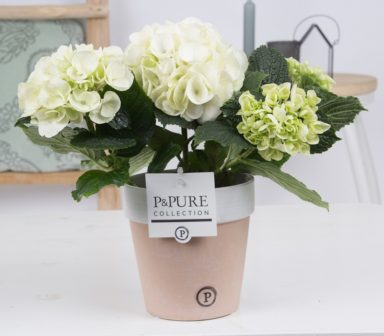 PC12-179-Hydrangea-p12-white-in-Pure-Terra-Cotta
