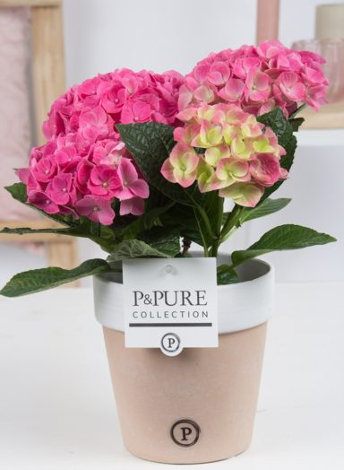 PC12-180-Hydrangea-p12-pink-in-Pure-Terra-Cotta