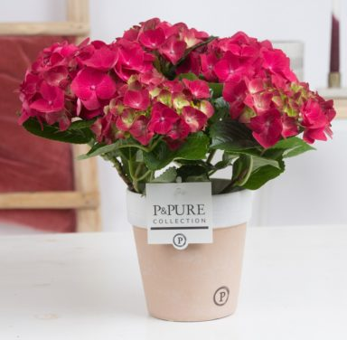 PC12-181-Hydrangea-p12-red-in-Pure-Terra-Cotta