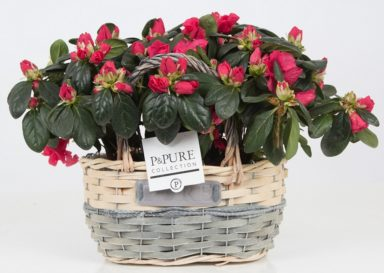 PC15-137x-Azalea-p12-red-in-Fieldbasket-V
