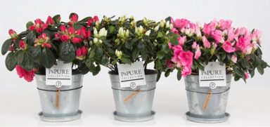 PC15-165-Azalea-p12-mix-in-zinc-pot-Louise