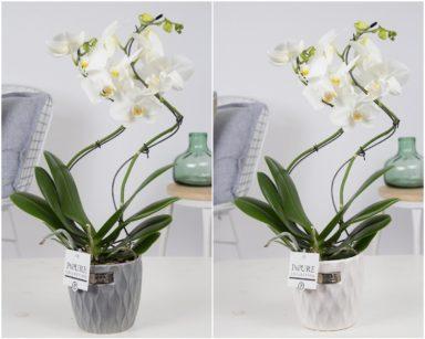PHWDPB2-Phalaenopsis-hurricane-in-Bijoux-II-ass.2
