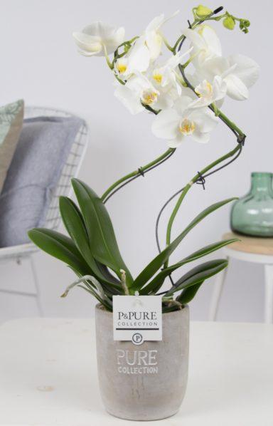 PHWDPJA-Phalaenopsis-hurricane-in-Jade-ceramics