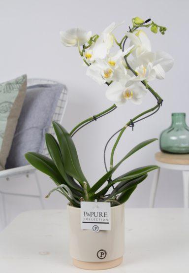 PHWDPJUC-Phalaenopis-hurricane-white-in-Julia-ceramics-creme