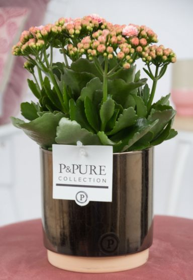 PC0207-Kalanchoe-p12-pink-in-Julia-cer.-goldbronze