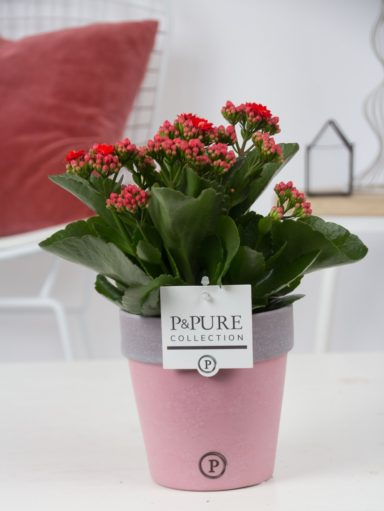 PC02-221-Kalanchoe-p12-red-in-Pure-Clay-2-reddish