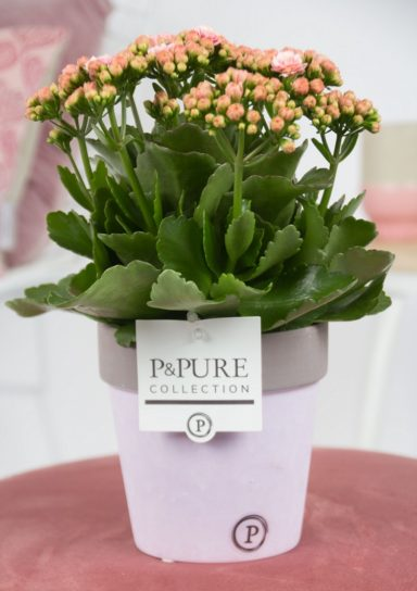 PC0222-Kalanchoe-p12-pink-in-Pure-Clay-II-reddish_lavender