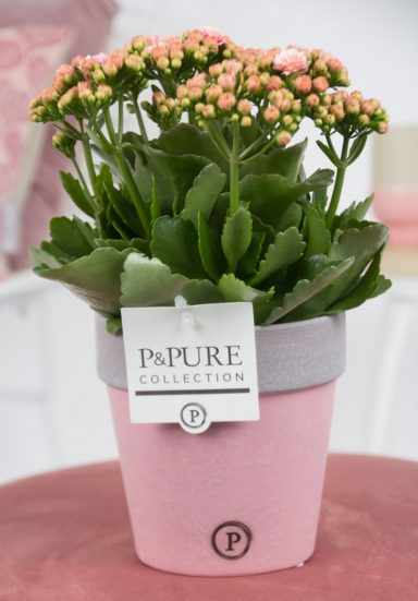 PC02-222a-Kalanchoe-p12-pink-in-Pure-Clay-II