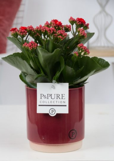 PC0233-Kalanchoe-p12-red-in-Julia-red