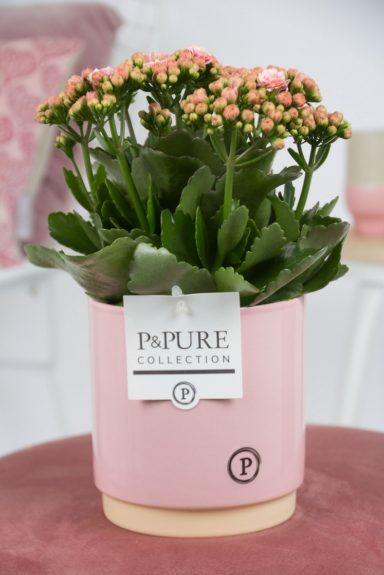PC0234-Kalanchoe-pink-in-Julia-cer.-pink