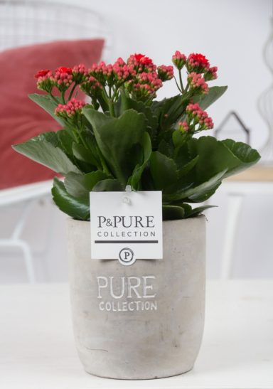 PC02-238-Kalanchoe-p12-red-in-Jade-2-cer.-ass.2