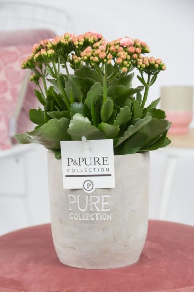 PC02-239-Kalanchoe-p12-pink-in-Jade-2-cer.-ass.2