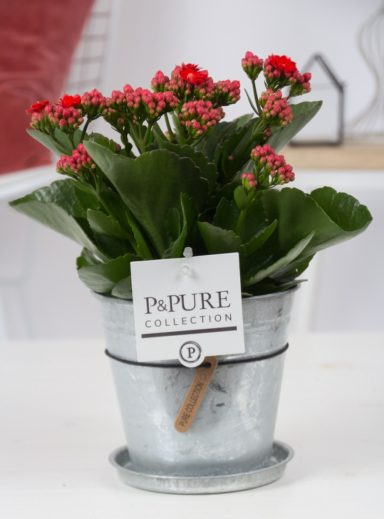 PC02-242-Kalanchoe-p12-red-in-zinc-Louise-2