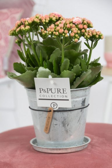 PC02-243-Kalanchoe-p12-pink-in-zinc-Louise-2