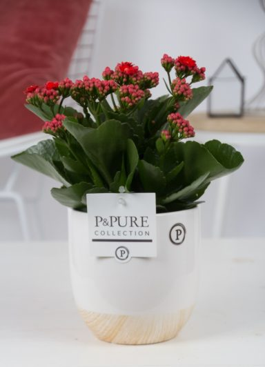 PC0246-Kalanchoe-p12-red-in-Emily-cer-white