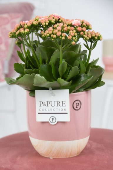 PC0247-Kalanchoe-p12-pink-in-Emily-cer.-pink