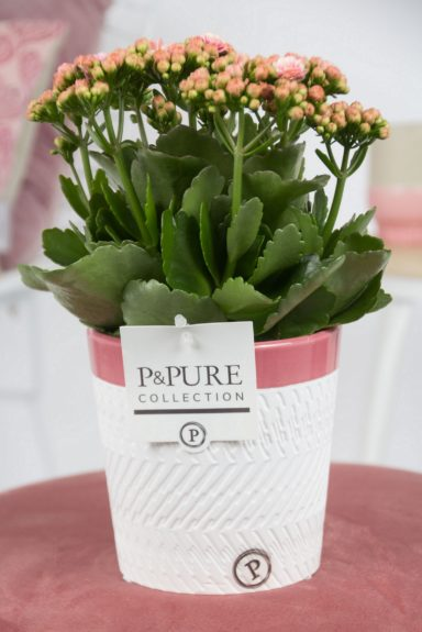 PC02-256-Kalanchoe-p12-in-Valerie