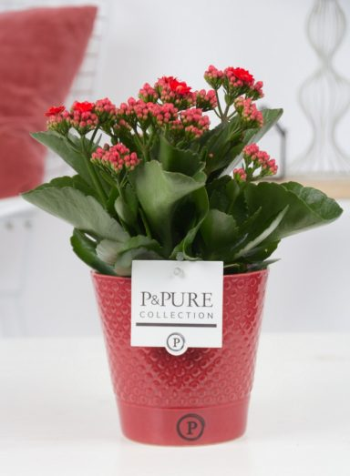 PC0288-Kalanchoe-p12-red-in-Expression-red