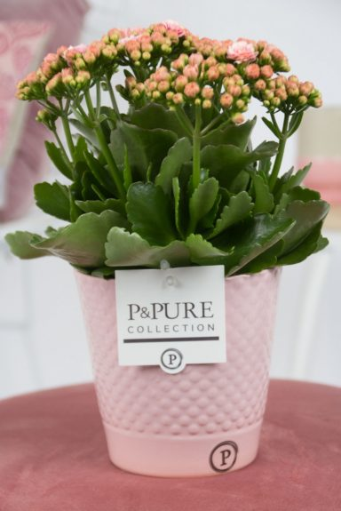 PC02-289-Kalanchoe-p12-pink-in-Expression-ceramics-pink