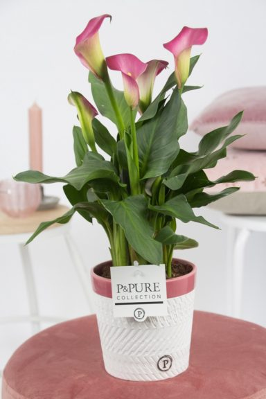 PC02-412-Zantedeschia-p12-pink-in-Valerie-ceramics-pink