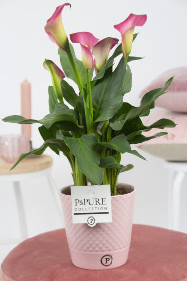 PC02-427-Zantedeschia-p12-mix-in-Expression-ceramics-assorti_3