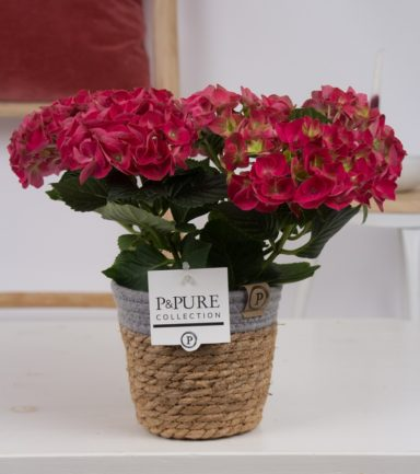 PC12-127O-Hydrangea-red-p12-in-Pure-Basket