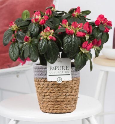 PC15-108-Azalea-p12-red-in-Pure-Basket