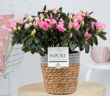 PC15-109-Azalea-p12-pink-in-Pure-Basket