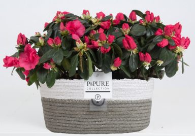 PC15-137-2x-Azalea-p12-red-in-Fieldbasket