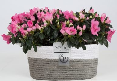 PC15-138-2x-Azalea-p12-pink-in-Fieldbasket