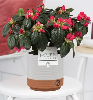 PC15-18-Azalea-p12-red-in-Milou-Ceramics