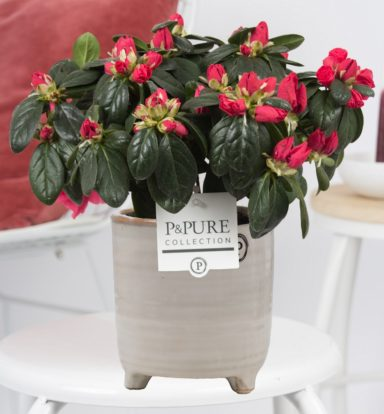 PC15-22-Azalea-p12-red-in-Lauren-Ceramics