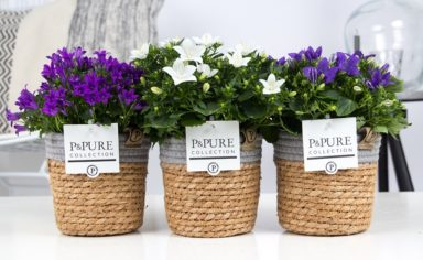 L173-0900-Campanula-p11-mix-in-Pure-Basket