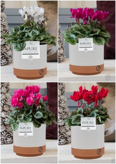 M202-0501-Cyclamen-p11-Picasso-mix-in-Milou