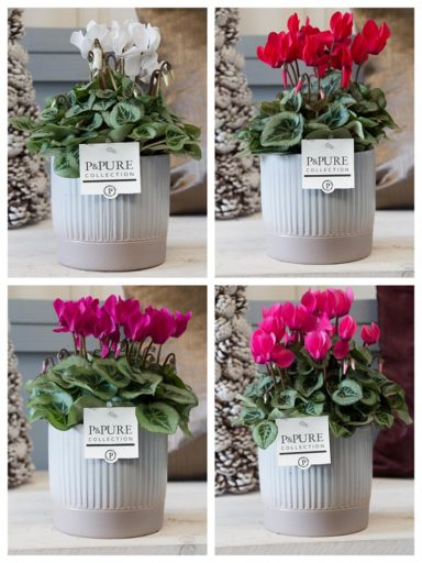 M202-2301-Cyclamen-p11-Picasso-mix-in-Lucille-grey